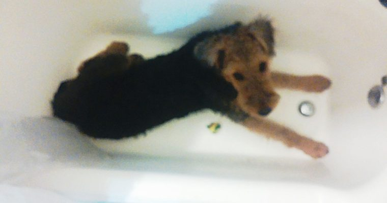 Rub a Dub Dub, AIREDALE TERRIER in the Tub
