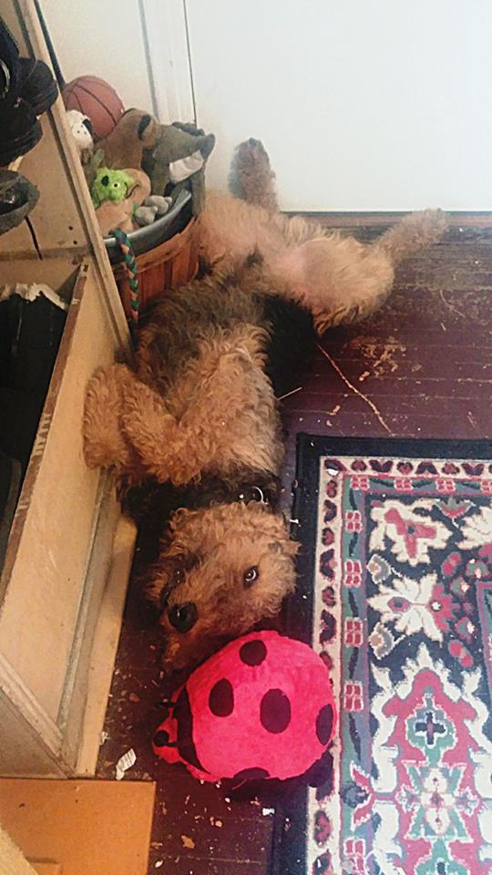 The Airedale Sleeping Position